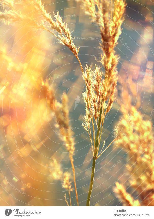 Goldschimmer Natur Pflanze Farbe Sommer ruhig Umwelt Wiese Gras natürlich Garten Freiheit glänzend träumen Feld Wachstum leuchten