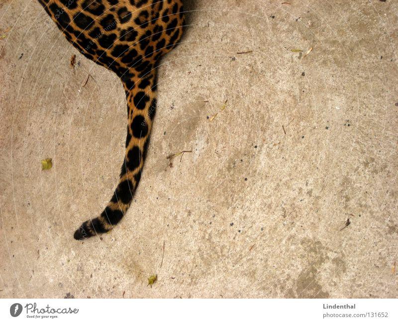 Wildkatzenschwanz Fell Katze Muster Schwanz Tier Säugetier sitzen Hinterteil Textfreiraum rechts Anschnitt Bildausschnitt Ozelotkatze