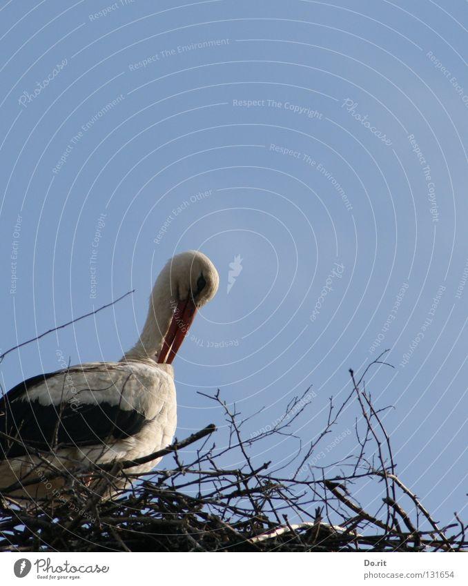 Schönheitspflege Storch Weißstorch Nest Wohnung Blauer Himmel Wolken Federvieh Vogel Sträucher Schnabel Geburt Frühling schön Hausstorch Schreitvogel Adebar