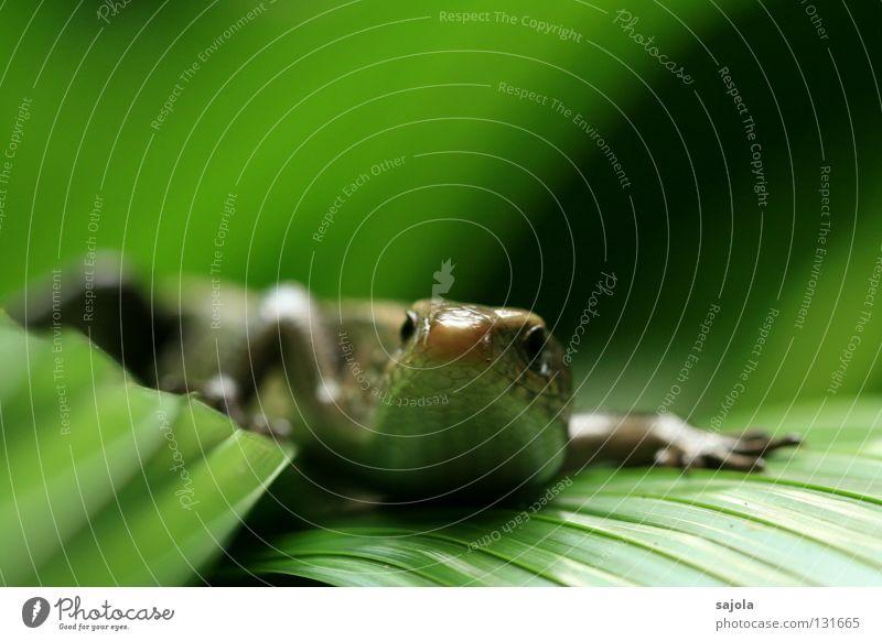 skink grün Tier Blatt Wildtier Asien Urwald Reptil frontal Echsen Echte Eidechsen Botanischer Garten