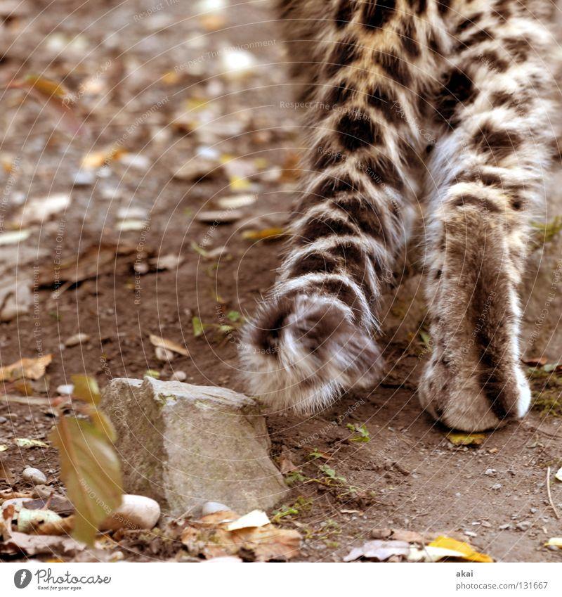 Schleichen ruhig Tier Spielen Angst Lebensmittel Suche Afrika Zoo Konzentration Jagd Appetit & Hunger Kontrolle Wachsamkeit Fleck Säugetier exotisch