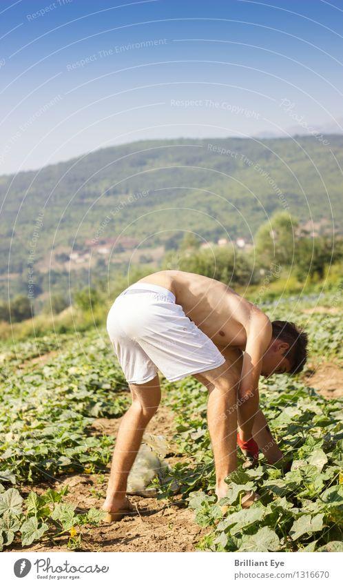 Gurkenernte Gemüse Lifestyle Sommer Feld Landwirtschaft Forstwirtschaft Mensch Junger Mann Jugendliche Hand 1 Natur Nutzpflanze Arbeit & Erwerbstätigkeit