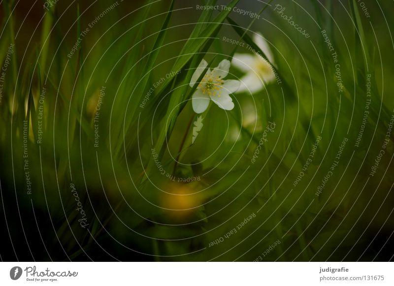 Wiese Frühling Buschwindröschen Gift Frühblüher grün weiß zart Blume Blüte Pflanze Umwelt weich fein Schüchternheit Gras März April Mai Farbe hexenblume