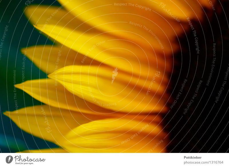 Sonnenblume Natur Pflanze Sommer Blume Blüte Wildpflanze Freundlichkeit gelb Farbfoto Außenaufnahme Menschenleer Dämmerung Licht Kontrast Sonnenlicht