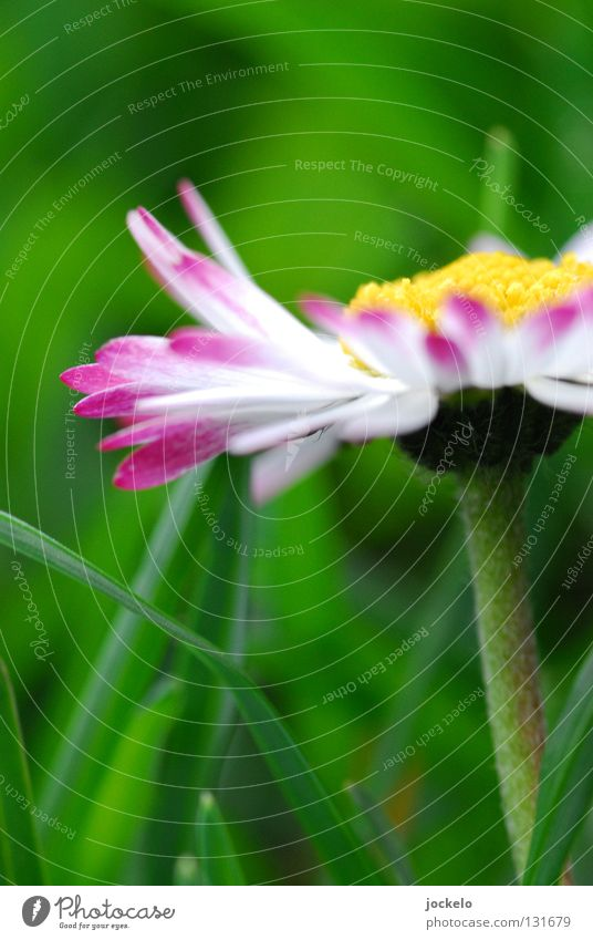 Bellis perennis schön Sommer Frühling Blume Gras Blüte Wiese Biene klein nass gelb grün weiß Gänseblümchen magenta Stengel 1:1 kleine Margarite Sattes Grün