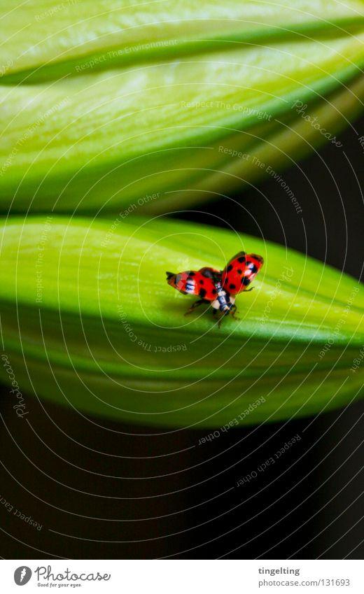 abflug grün Pflanze rot schwarz Frühling klein fliegen Flügel Insekt Blütenknospen Marienkäfer Käfer gepunktet getupft
