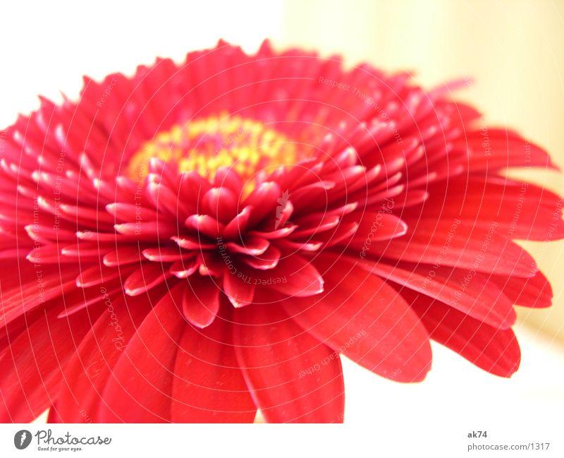 Gerbara rot Blüte