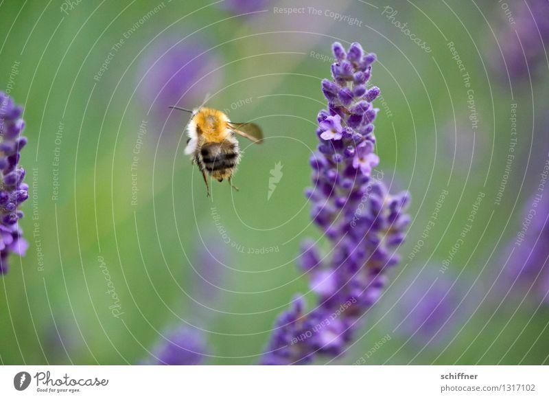 So, Feierabend! brööööö Natur Pflanze Tier Blume Blüte Wiese Biene 1 fliegen Lavendel Lavendelfeld Honigbiene Außenaufnahme Makroaufnahme