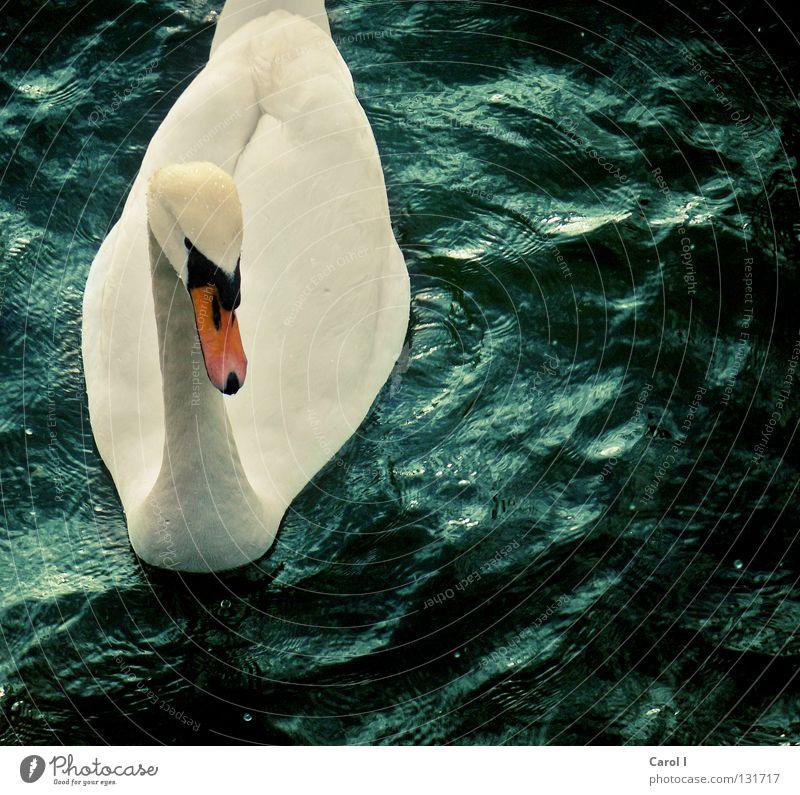 Wellenreiter II grün Schwan Schnabel dunkel Wind weiß Feder Vogel tief Eisenbahn See Schweiz Zugersee Sturm Leben Leidenschaft Unwetterwarnung gefährlich Tier