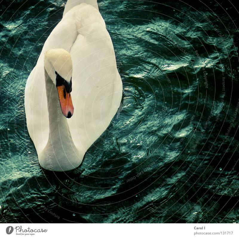 Wellenreiter II Wasser schön weiß grün blau Tier Leben dunkel See Vogel Wind elegant Wassertropfen Eisenbahn
