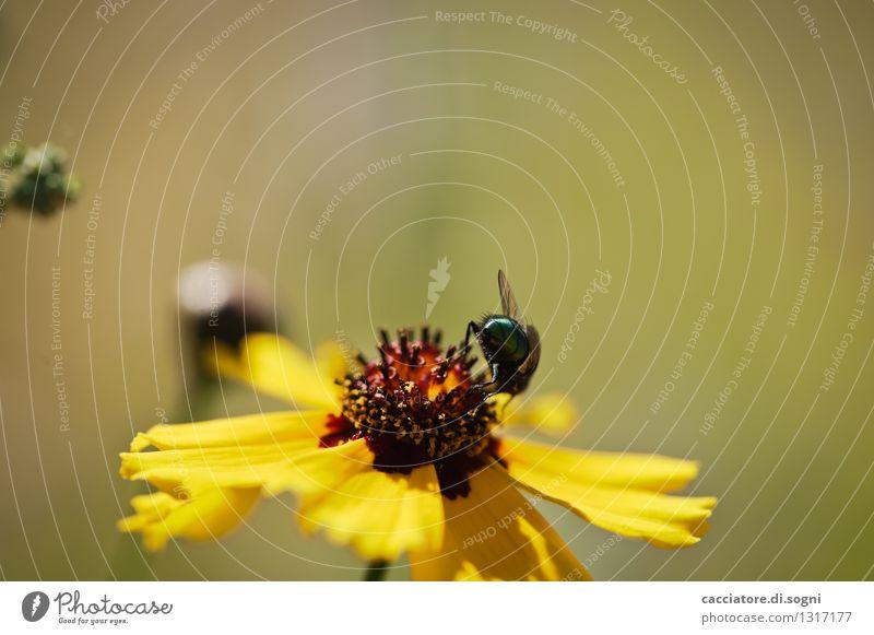 ... am Arsch vorbei Pflanze Tier Sommer Schönes Wetter Blume Blüte Wildpflanze Wildtier Fliege 1 Blühend krabbeln sitzen frei klein natürlich gelb grün