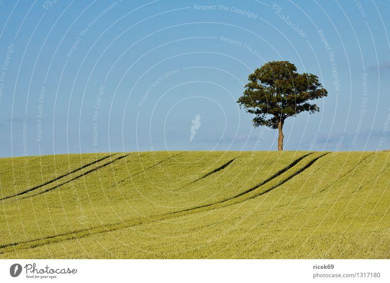 Baum Getreide Landwirtschaft Forstwirtschaft Natur Landschaft Pflanze Feld blau grün Himmel Getreidefeld Mecklenburg-Vorpommern alleinstehend einzeln Laubbaum