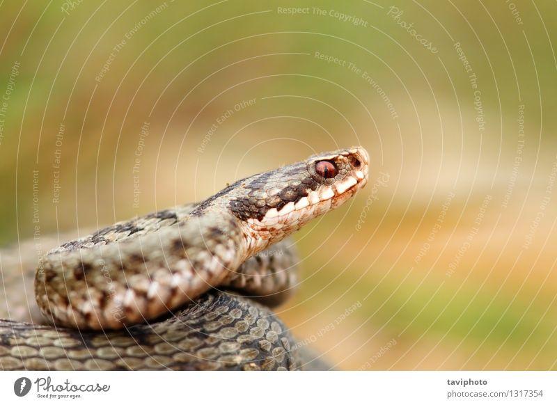 Nahaufnahme eines schönen vipera berus Frau Erwachsene Natur Tier Wildtier Schlange natürlich wild braun grau Vorsicht Angst gefährlich Vipera Natter Ottern