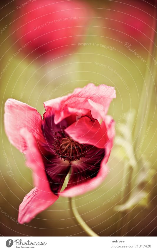 immer wieder MOHN Natur Pflanze grün schön Sommer Erholung Blume rot Einsamkeit Blüte Stil Lebensmittel braun Stimmung rosa träumen