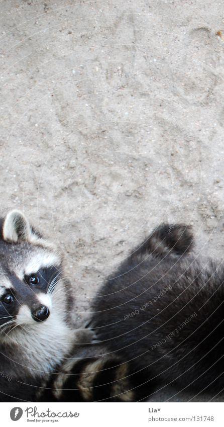 Waschbär-Gang weiß schwarz grau Sand braun Nase süß Coolness Ohr beobachten Fell Zoo Neugier unten niedlich Geruch