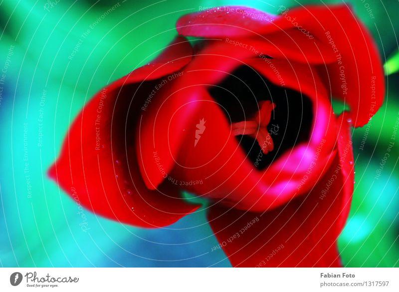 Blume von oben Umwelt Natur Pflanze Wassertropfen Frühling Tulpe Blatt Blüte Garten Tropfen rot Blütenknospen Blumenknospe Farbfoto Außenaufnahme Nahaufnahme