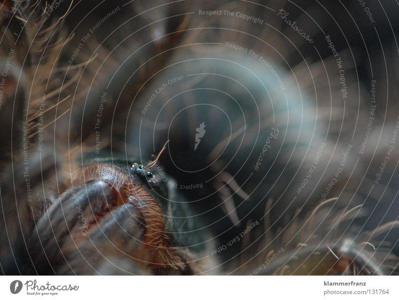 Rund und Gsund Monster Theraphosa Vogelspinne Makroaufnahme Riesenvogelspinne Detailaufnahme Bildausschnitt