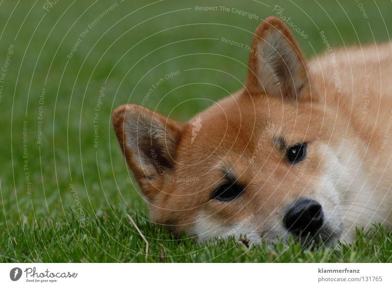 Das Gras wachsen hören Hund Treue Tier Haustier Japan ruhen Pause durchdrehen Erholung Wimpern Augenbraue Fell Mütze Bart Barthaare Welpe ruhig Wachstum Halm