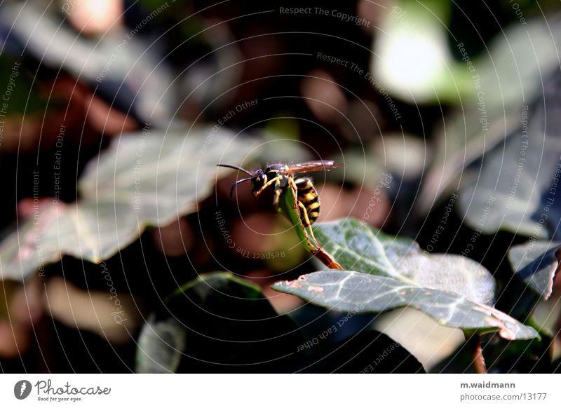besser aufm foto als im bier Sommer Blatt fliegen Sträucher Flügel Insekt Klettern Wespen