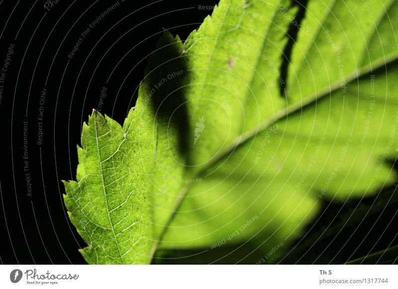 Blatt Natur Pflanze grün schön Sommer ruhig schwarz Frühling natürlich elegant authentisch ästhetisch Blühend einfach einzigartig
