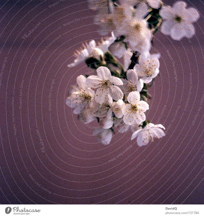 baumblüte Frühling Jahreszeiten Blüte Baum Blühend aufwachen zart zierlich frisch Baumblüte Ast Zweig Blütenknospen