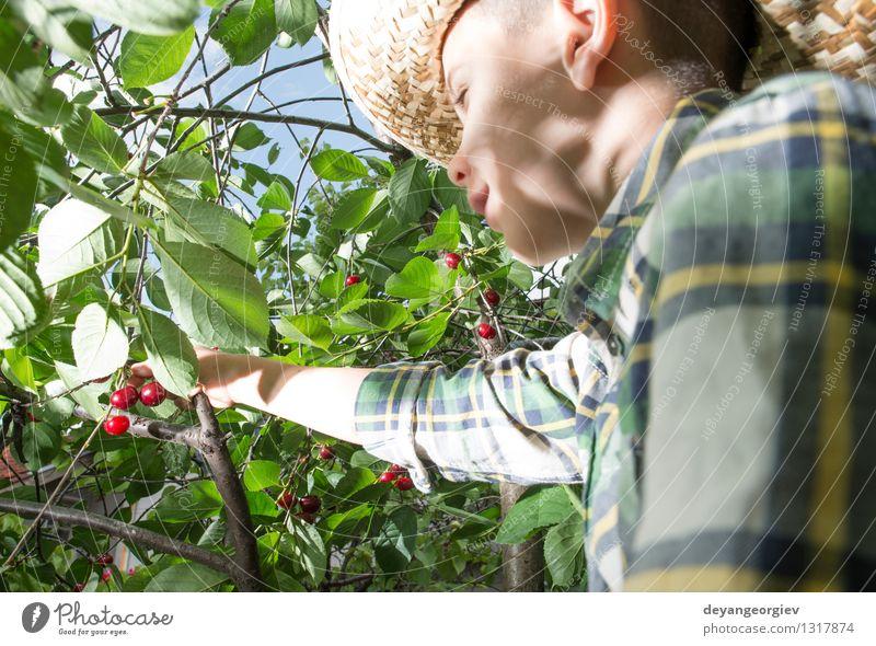 Kinderernte Morello Kirschen Natur grün Sommer Baum Hand rot Freude Mädchen Essen klein Familie & Verwandtschaft Garten Frucht frisch Kindheit