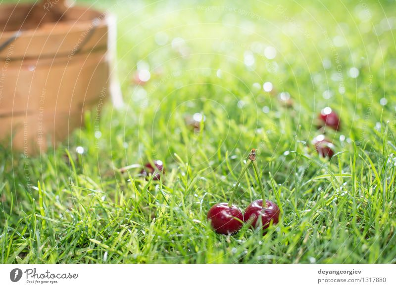 Morello Kirschen im Korb auf der grünen Wiese Frucht schön Sommer Garten Gartenarbeit Natur Baum Gras Blatt frisch natürlich saftig rot süß Gesundheit