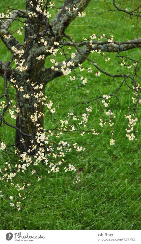 Blütengrün Baum Wiese Gras Halm Baumstamm Frühling Regen Blühend Rasen Ast Zweig Blütenzweig