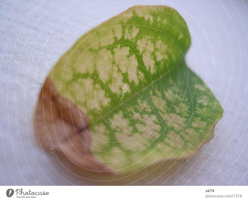 Blatt trocken grün gelb Makroaufnahme