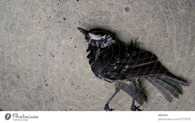 ::MOONWALK:: Tier Tod Tanzen Vogel laufen Beton Trauer Feder liegen Verzweiflung Moral Philosophie Zugvogel