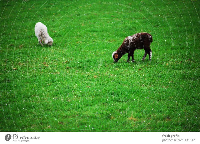 das grasen der lämmer Natur grün Ernährung Tier Leben Wiese Frühling Schaf Fressen Säugetier Wolle Lamm Nutztier