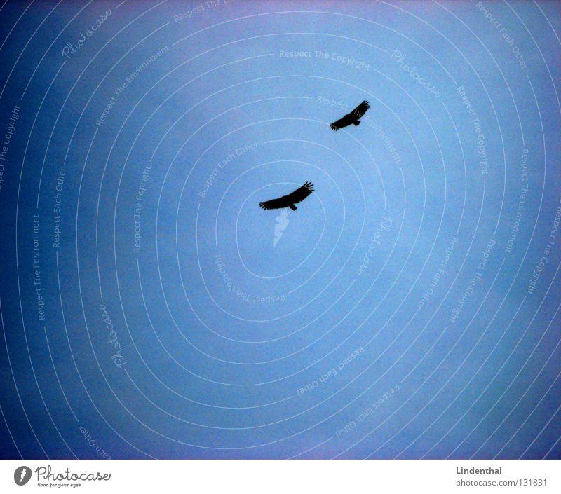 SEEADLER Adler Vogel Greifvogel 2 paarweise Tierpaar fliegend Vogelflug Luft Freisteller Silhouette Vor hellem Hintergrund Textfreiraum links