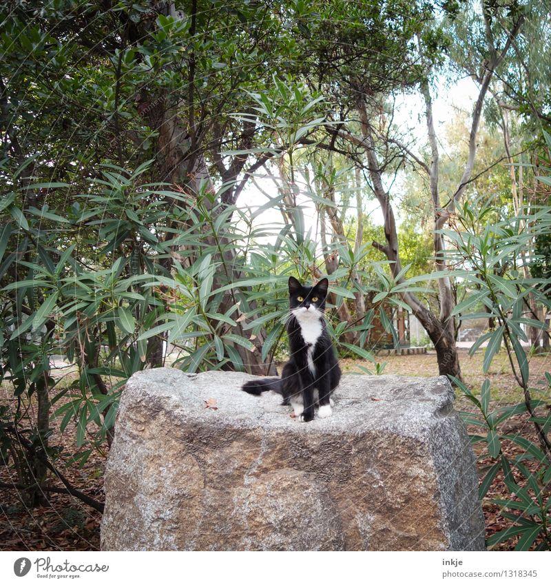 Korsiche Katze Natur Pflanze Sommer Tier Wald Umwelt Gefühle Garten Stein Felsen Park Idylle Wildtier frei niedlich