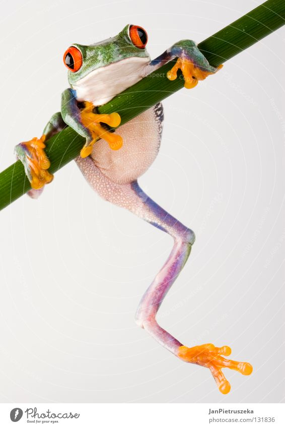Crazy frog Natur Tier Stil verrückt Makroaufnahme Froschlurche