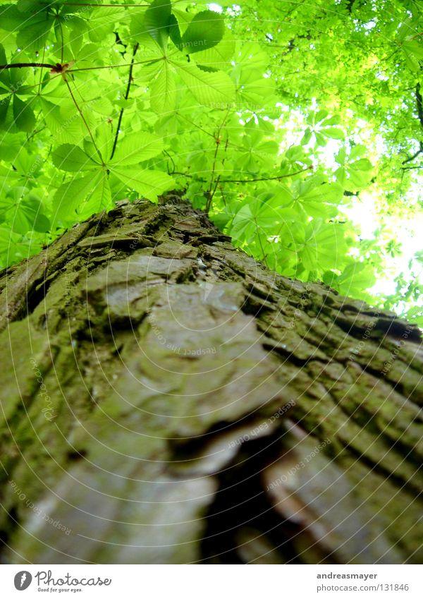 greentree Baum Blatt Vertrauen gün Natur Perspektive Kontrast Blick nach oben nah dran