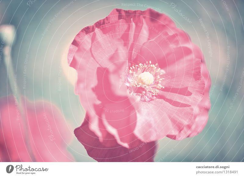 Mohn Natur Pflanze blau schön Sommer Blume Blüte Kunst außergewöhnlich rosa träumen elegant ästhetisch Kreativität Blühend Lebensfreude