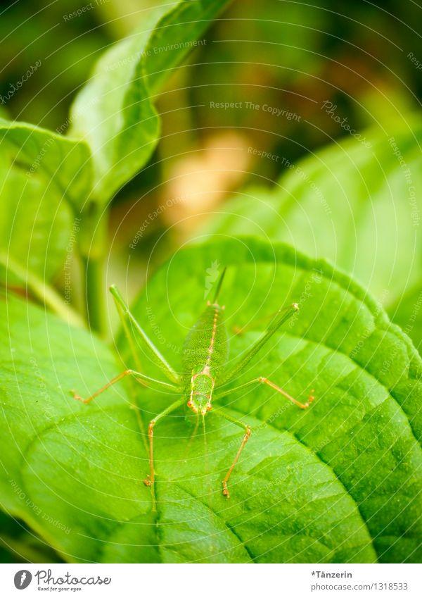 perfekt getarnt II Umwelt Natur Tier Sommer Pflanze Blatt Wildtier Heuschrecke 1 natürlich grün Farbfoto Menschenleer Tag Starke Tiefenschärfe Tierporträt