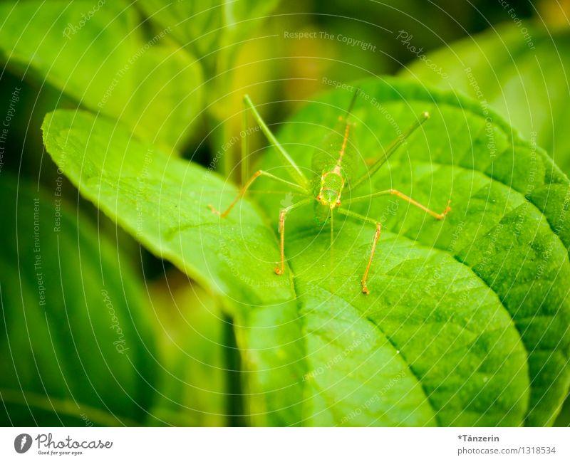 perfekt getarnt Natur Tier Sommer Blatt Wildtier Heuschrecke 1 grün Farbfoto Außenaufnahme Nahaufnahme Menschenleer Tag Schwache Tiefenschärfe Tierporträt