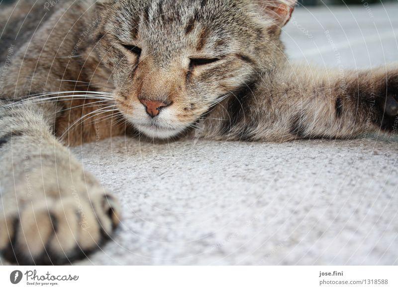 Katzen sind immer schön harmonisch Sinnesorgane Tier Haustier Tiergesicht Pfote Erholung liegen schlafen Glück Zufriedenheit Gelassenheit Freundschaft genießen