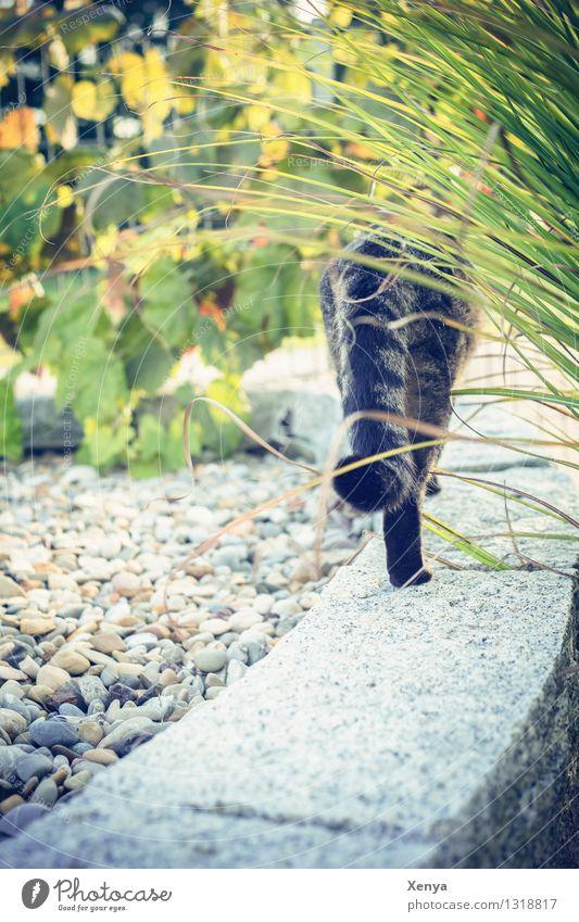 Herbst Ade Katze Natur Pflanze grün Tier gelb grau Garten Stein Haustier Abschied Bambus Kieselsteine Desinteresse