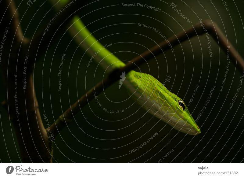 schlängeln grün Baum Tier Auge Kopf Ast lang Asien dünn Scheune Gift Schlange Reptil Singapore biegen Schlitz