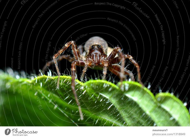 Spinnenmakro Tier Blatt 1 gruselig spinnenphobie beobachten achtbeinig nahaufnahme Spinnennetz Spinnenbeine araneae behaart beute Farbfoto Außenaufnahme
