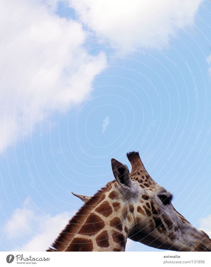 Big B Tier Afrika Bulle Zoo Gehege Wolken Giraffe hoch Himmel die liebliche
