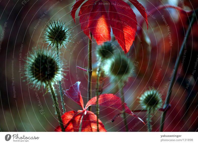 Herbst Impression Pflanze rot Tier Wein Hecke Stachel Dorn Oktober September