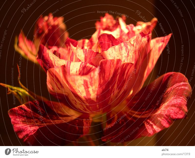 Eine Rose ist eine Rose ist eine Rose Blume Pflanze schwarz Blüte
