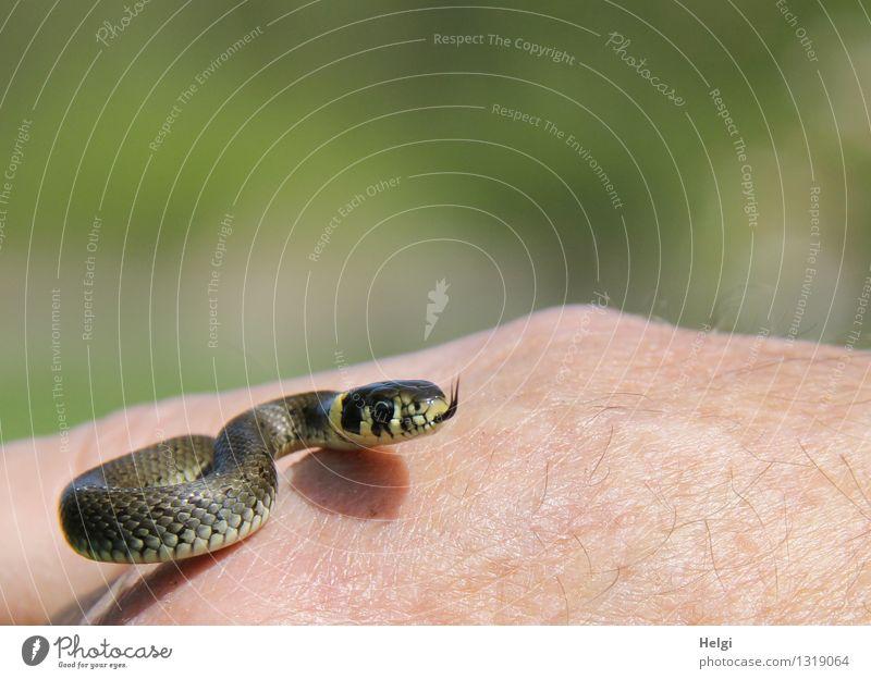 Mini-Ringelnatter... Mensch Hand Umwelt Natur Tier Wildtier Schlange 1 Tierjunges Bewegung Blick ästhetisch außergewöhnlich einzigartig klein natürlich gelb