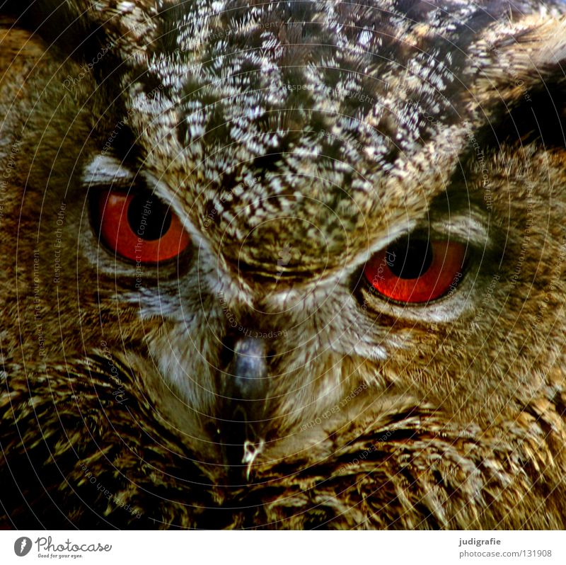 Räuber Natur schön rot Auge Tier Farbe Leben Vogel Umwelt Feder Schnabel klug Stolz Weisheit Eulenvögel Greifvogel