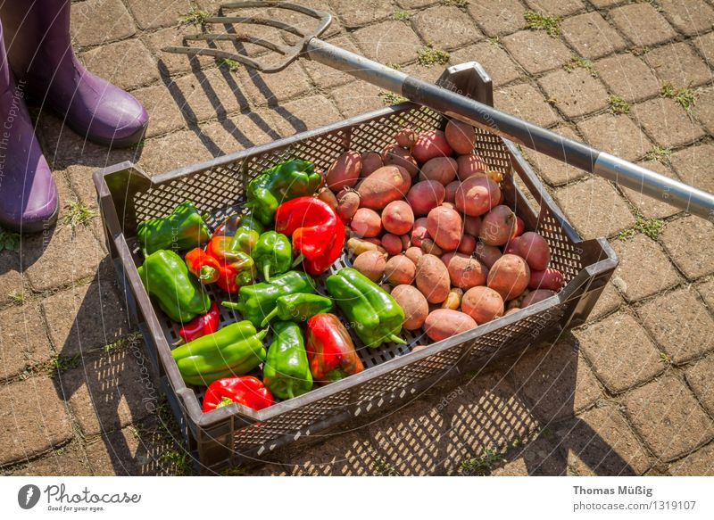 Erntezeit Gemüse Frucht Sommer Garten Gartenarbeit frisch Gesundheit grün rot Grabgabel Kartoffeln Schrebergarten Paprika Peperoni Farbfoto Außenaufnahme