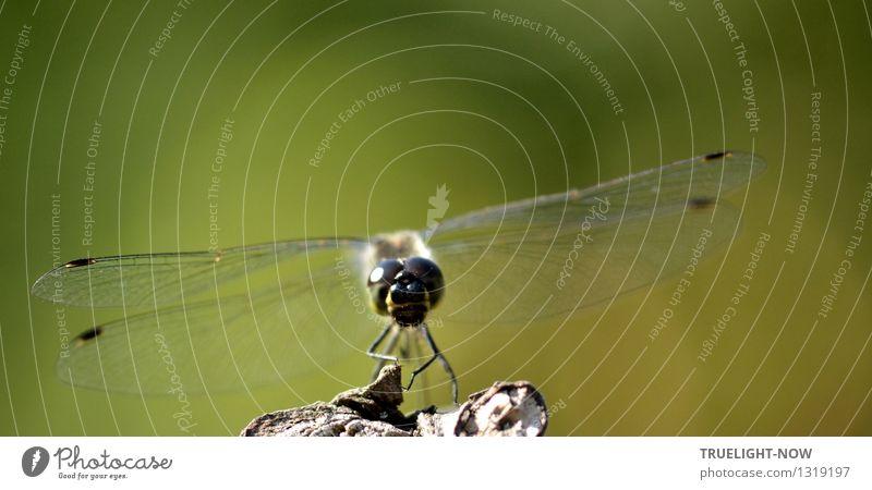 kümmerlich  ...das Mittagessen heute! Umwelt Natur Tier Schönes Wetter Wärme Garten Wildtier Tiergesicht Flügel Libelle Libellenflügel beobachten Denken Jagd