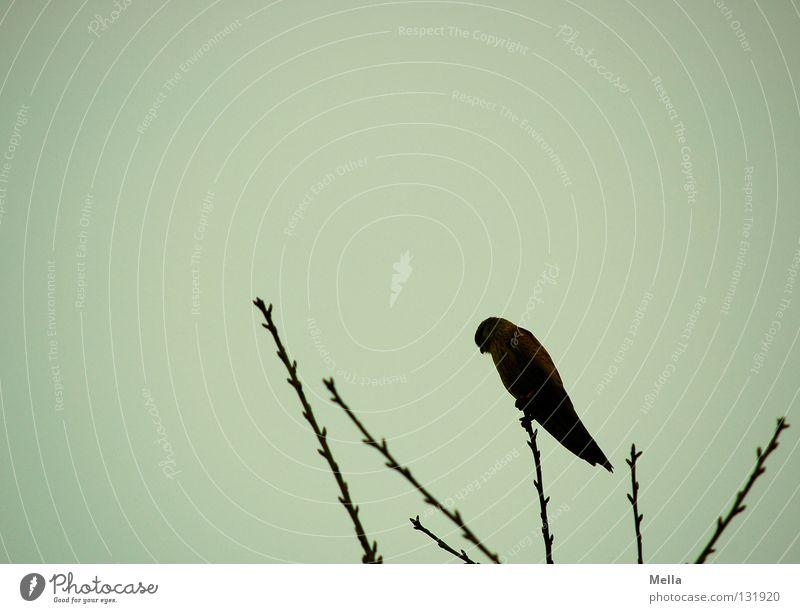 Falkenfrühling II Umwelt Natur Tier Baum Baumkrone Zweige u. Äste Vogel Turmfalke 1 hocken sitzen dunkel hoch natürlich Spitze grau trüb Farbfoto Außenaufnahme